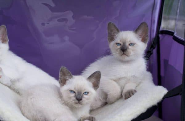 Тайская кошка милая