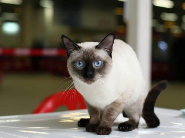 Тайская кошка описание