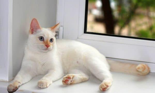 Тайская кошка ред-поинт