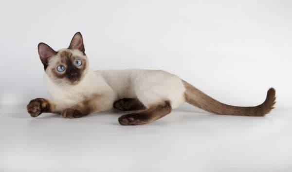 Тайская кошка шоколад-поинт