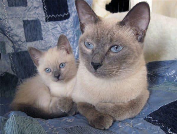 Тайская кошка сил-поинт