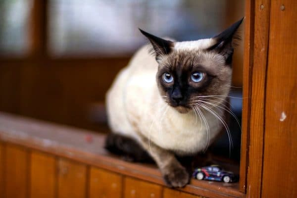 Тайская кошка смотрит