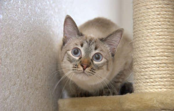 Тайская кошка тэбби