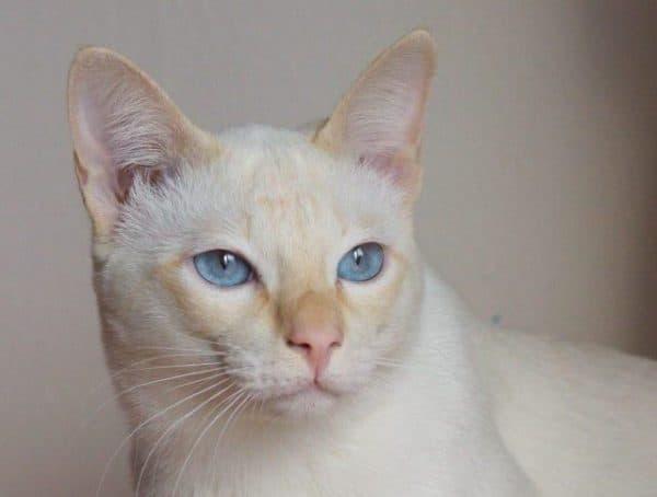Тайская кошка торти-поинт