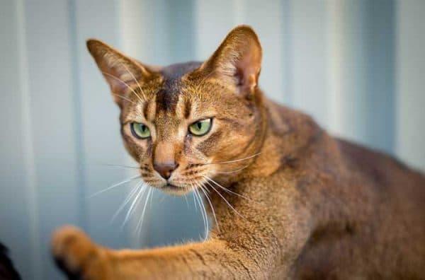 Удивительная абиссинская кошка