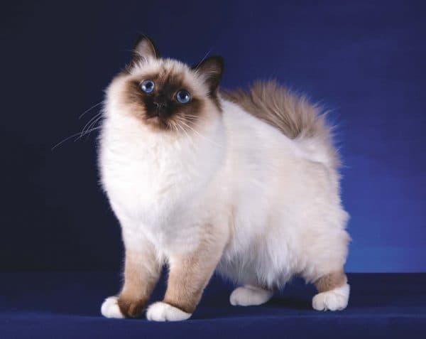 Удивительная бирманская кошка