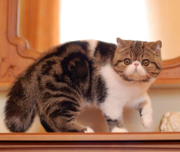Удивительная экзотическая короткошерстная кошка