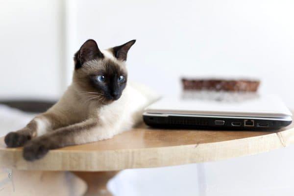Удивительная тайская кошка