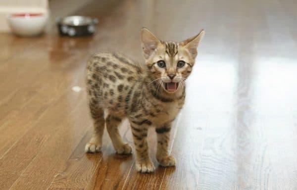 Ашера котенок