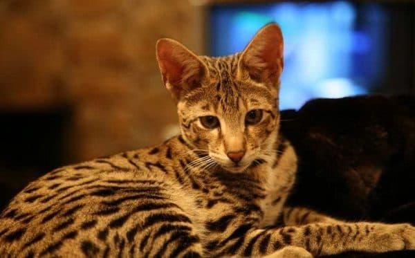 Ашера. Описание породы, фото кошки, видео, характер и цены.