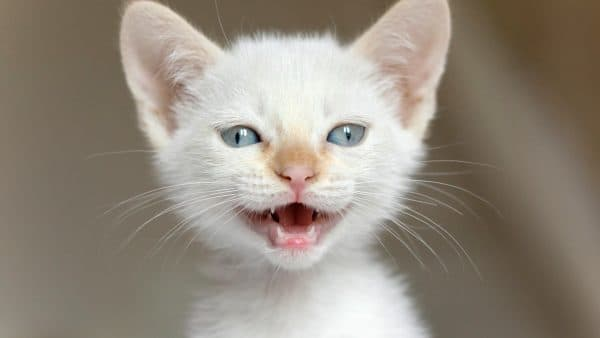 Белый красивый котенок