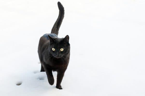 Бомбейская кошка красивая порода