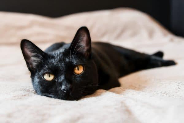 Бомбейская кошка на что обратить внимание
