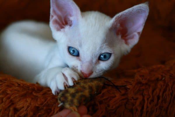 Девон-рекс. Описание породы, фото кошки, видео, характер и цены.