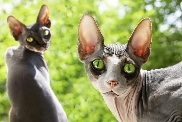 Донской сфинкс милая порода кошек