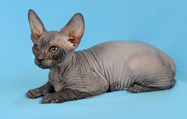 Донской сфинкс удивительная порода кошек