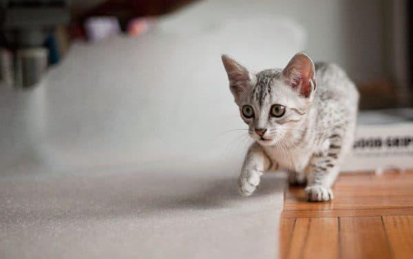 Египетская мау. Описание породы, фото кошки, видео, характер и цены.