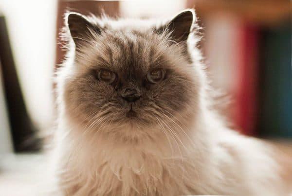 Гималайская кошка читайте статью