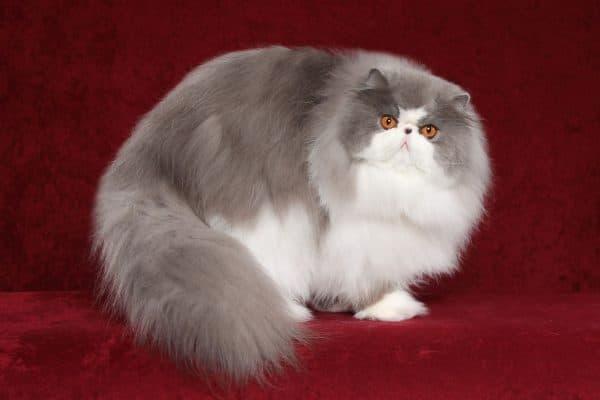 Гималайская кошка красивая порода