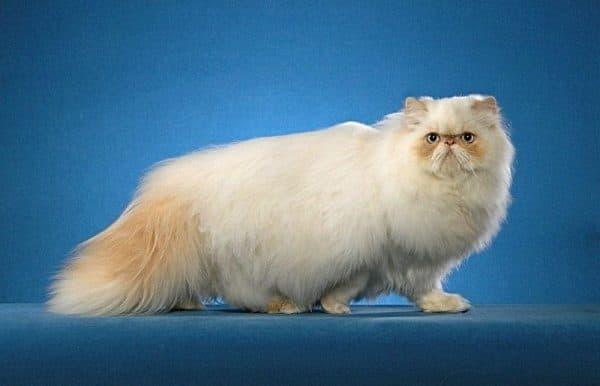 Гималайская кошка кремовый окрас
