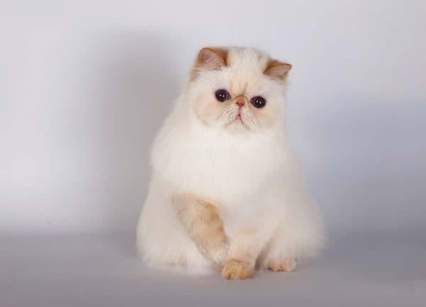 Гималайская кошка купить