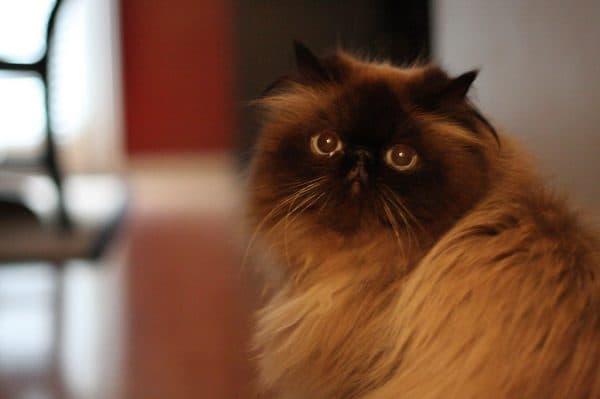 Гималайская кошка питание