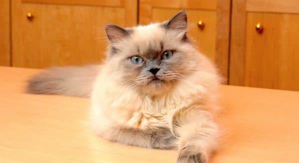 Гималайская кошка прекрасная порода