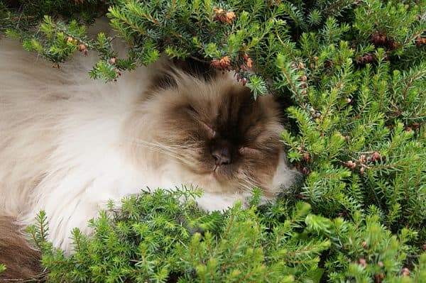 Гималайская кошка спит