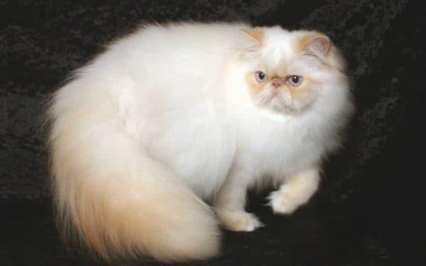Гималайская кошка удивительная порода