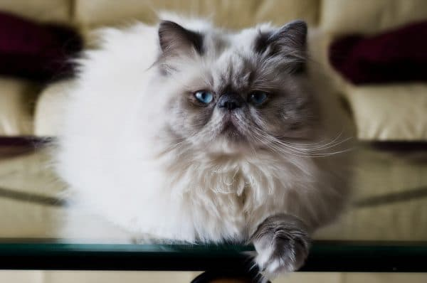 Гималайская кошка. Описание породы, фото, видео, характер и цены.