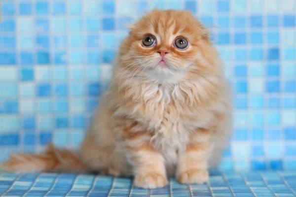 Хайленд-фолд красивая порода кошек