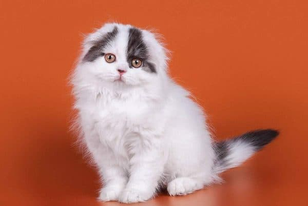 Хайленд-фолд милая порода кошек