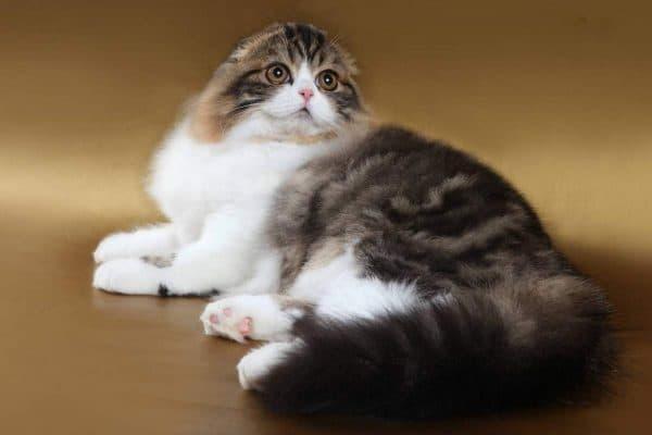Хайленд-фолд удивительная порода кошек