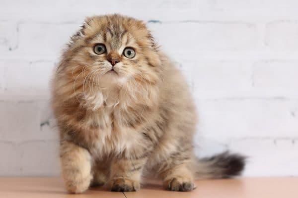 Хайленд-фолд. Описание породы, фото кошки, видео, характер и цены.