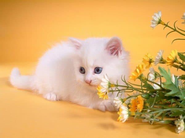 Как назвать белого котенка девочку читайте статью