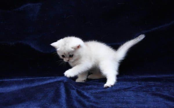 Как назвать белого котенка мальчика читайте статью