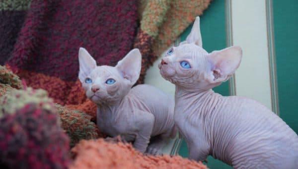 Как назвать котенка сфинкса читайте статью