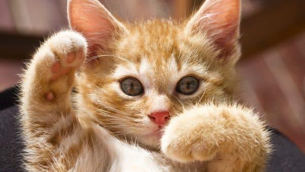 Как назвать рыжего котенка девочку читайте статью