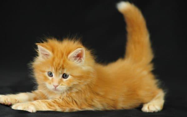 Как назвать рыжего котенка мальчика