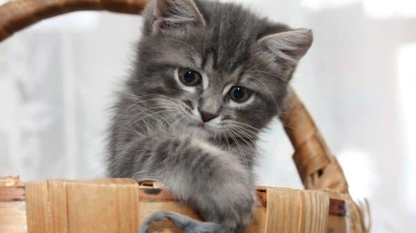 Как назвать серого котенка девочку читайте статью