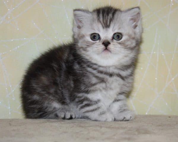 Как назвать шотландского котенка девочку