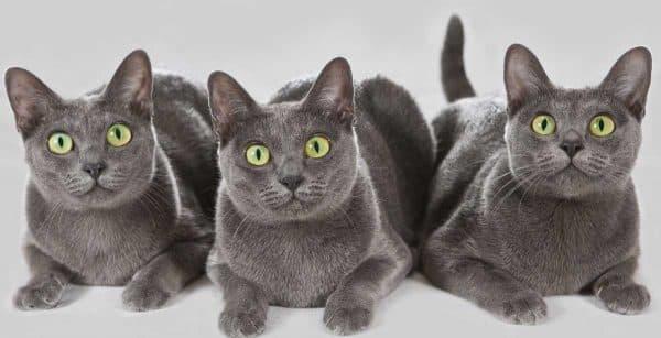 Корат красивая порода кошек