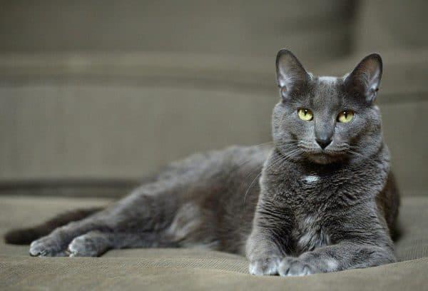Корат удивительная порода кошек