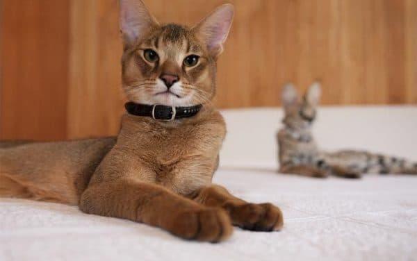 Красивая порода кошек чаузи