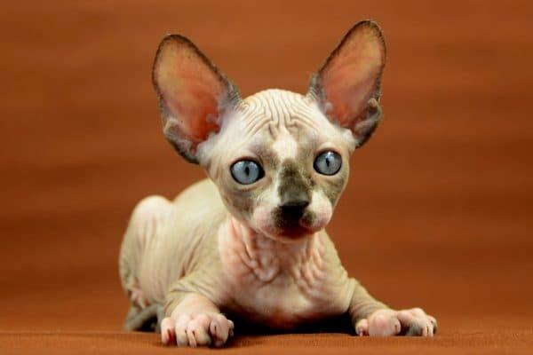 Красивый котенок сфинкса