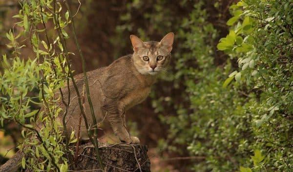 Милая порода кошек чаузи