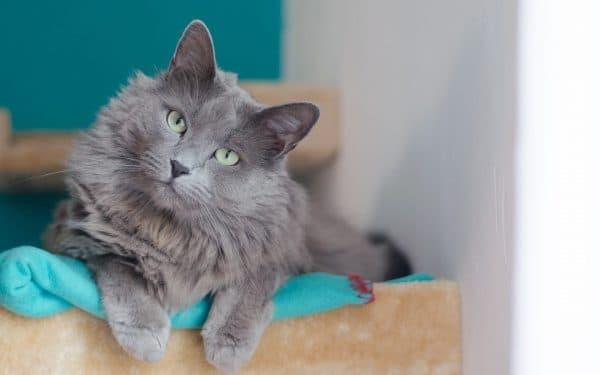 Нибелунг. Описание породы, фото кошки, видео, характер и цены.