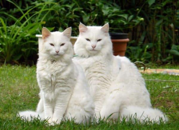 Норвежская лесная кошка белый окрас