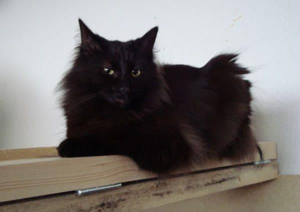 Норвежская лесная кошка черный окрас
