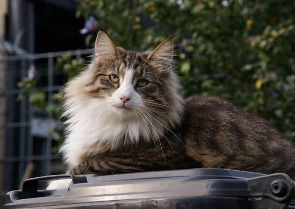 Норвежская лесная кошка читайте статью